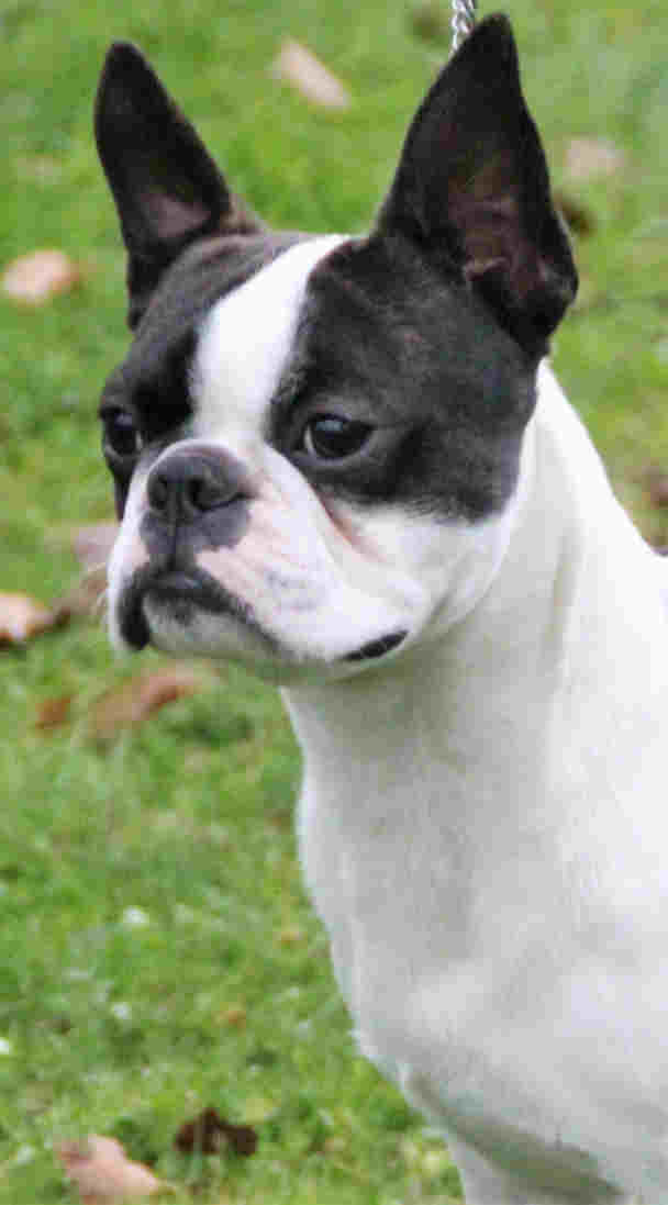Lascar du Grand Fresnoy Boston Terrier