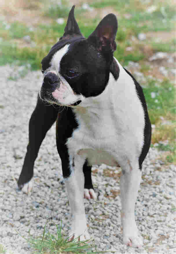 Marry Poppin's de Crocs.Minilus femelle Boston Terrier