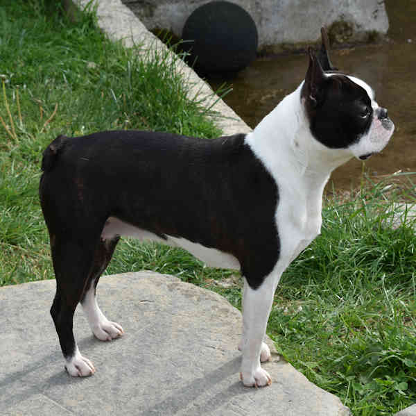 Boston terrier Mona Lisa
