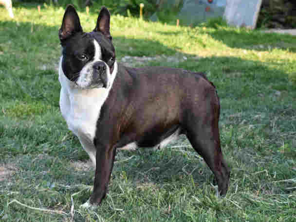 Femelle Boston Terrier