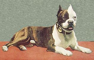 ancetre du Boston terrier