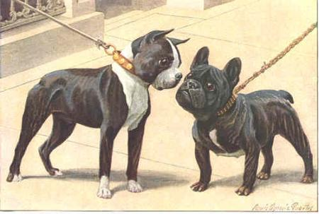 Boston terrier et Bouledogue Français